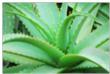 plante du mois : aloe vera